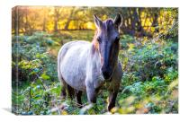 Wild horse grazing in woodlands at sunset, Canvas Print