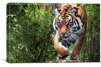 Tiger walking through bamboo, Canvas Print