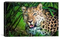 Leopard in bamboo, Canvas Print