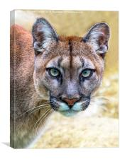 Cougar is watching you , Canvas Print