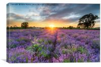 Sunset over beautiful fields of lavender , Canvas Print