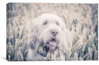 Spinone - Pure White Barley, Canvas Print