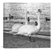 Swans in Mono, Canvas Print