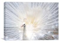Majestic White Peacock, Canvas Print