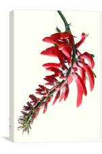Erythrina crista galli, Canvas Print