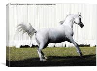 Champion Straight Egyptian Stallion, Canvas Print