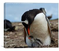 Gentoo Penguin Mother And Baby, Canvas Print