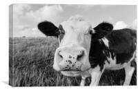 Curious cow grazing in a field , Canvas Print