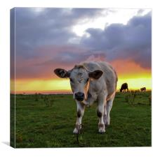 Young cow at sunrise , Canvas Print