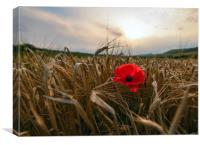 Red poppy , Canvas Print
