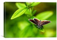 A Brown Argus Butterfly, Canvas Print