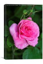 Gertrude Jekyll Rose covered in water droplets, Canvas Print