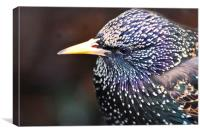Starling in all its splendour, Canvas Print