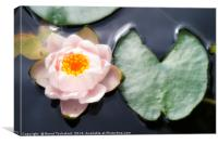 Water lily with leaf in a pond, Austria, Canvas Print