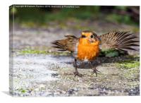 Robin With Outstretched Wings, Canvas Print