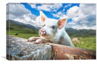 Cute Pig Looks Out On To The Wide World, Canvas Print