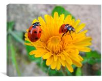 Duo of Ladybirds on Dandelion, Canvas Print