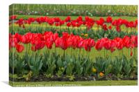 Tulips at Trenance Gardens Newquay, Canvas Print