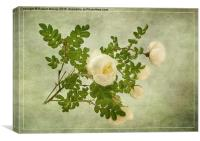 White Rose of Scotland , Canvas Print