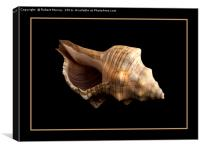Conch 2, Canvas Print