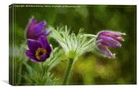 Pasqueflower, Canvas Print
