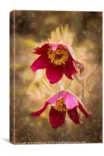 Pasque Flowers, Canvas Print