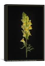 Toadflax, Canvas Print