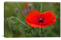 Poppy flower, Canvas Print