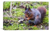 Eurasian red squirrel feeding on the forest floor , Canvas Print