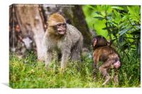 Young Barbary macaques playing together, Canvas Print
