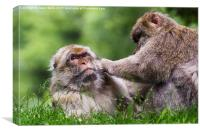 Barbary macaques grooming each other, Canvas Print