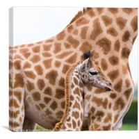 Baby giraffe standing by its mother, Canvas Print