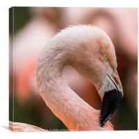 Square crop of a Chilean Flamingo, Canvas Print