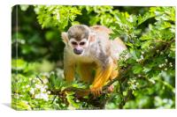 A Squirrel monkey in a tree, Canvas Print