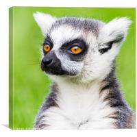 Ring-tailed lemur portrait, Canvas Print