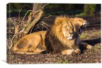 Asiatic lion pair in the sun, Canvas Print