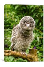 A Young Great Grey Owl, Canvas Print