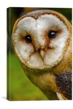 European Barn owl, Canvas Print