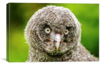 Face of baby GreatGrey Owl, Canvas Print
