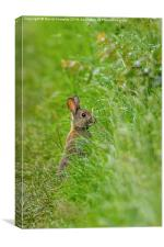 Rabbit in the grass, Canvas Print