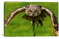 Falconers owl about to land, Canvas Print
