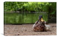 Mr Mallard, Canvas Print
