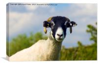 Swaledale Sheep, Canvas Print