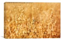 Odonata or dragonfly on oat, Canvas Print
