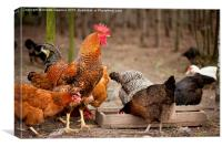 Rhode Island Red chickens eating from feeder , Canvas Print