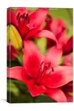 Red Lily showing stamens, Canvas Print