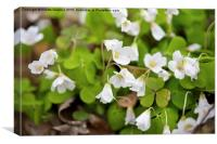 Wood sorrel bloom macro, Canvas Print