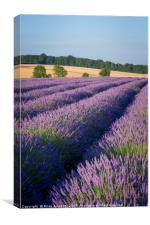 Lavender in the Cotswolds, Canvas Print