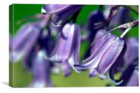 Bluebells in Bloom, Canvas Print