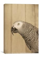 African Grey Parrot, Canvas Print